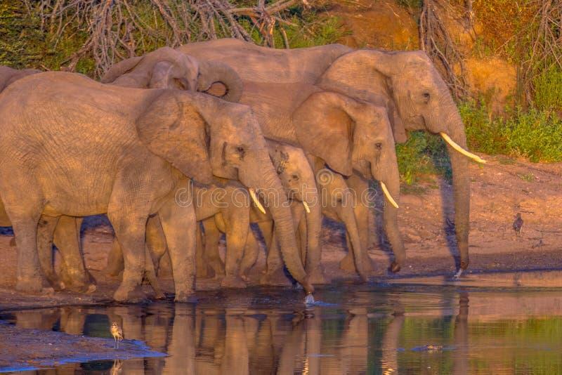 Elefantes africanos bebendo de lagoa fotografia de stock royalty free