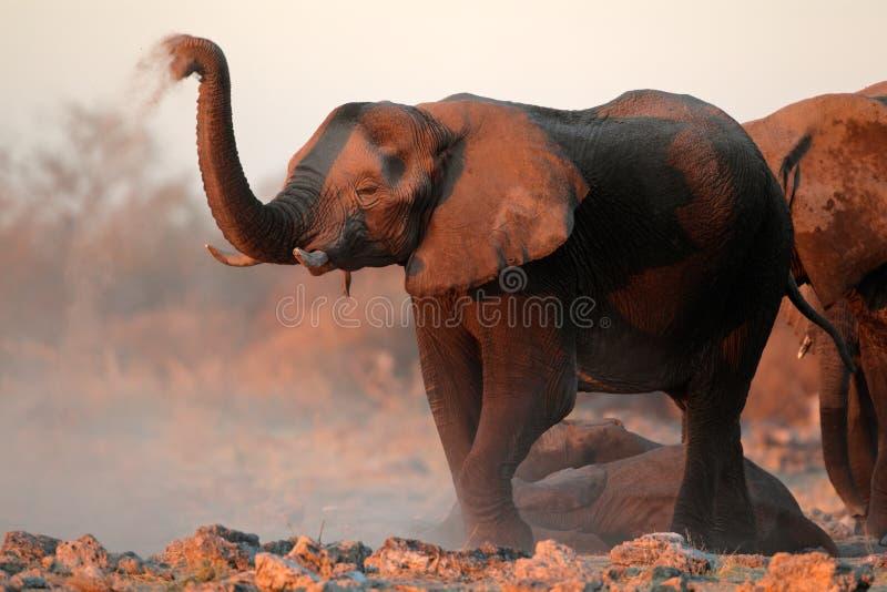 Elefantes africanos cobertos na poeira foto de stock