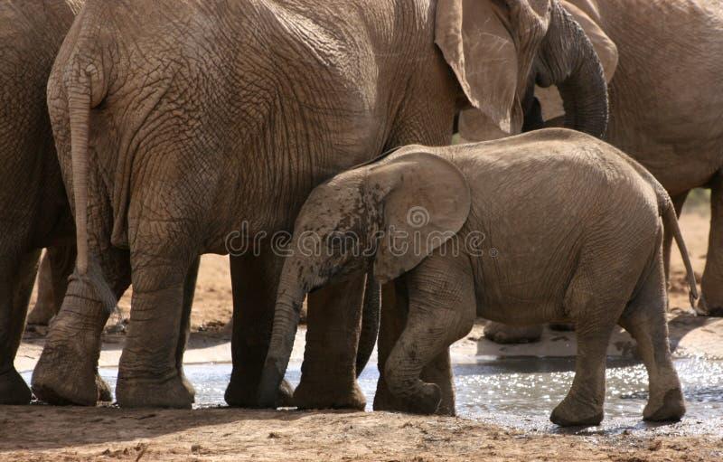 Elefantes africanos com a vitela no waterhole foto de stock royalty free