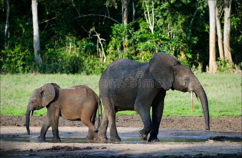 Elefantes africanos da floresta. fotos de stock