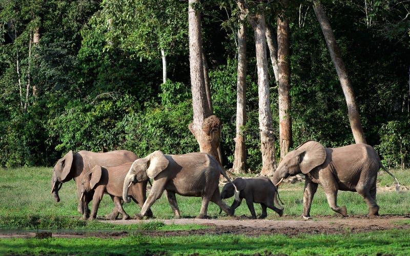 Elefantes africanos da floresta (cyclotis do Loxodonta). fotos de stock royalty free