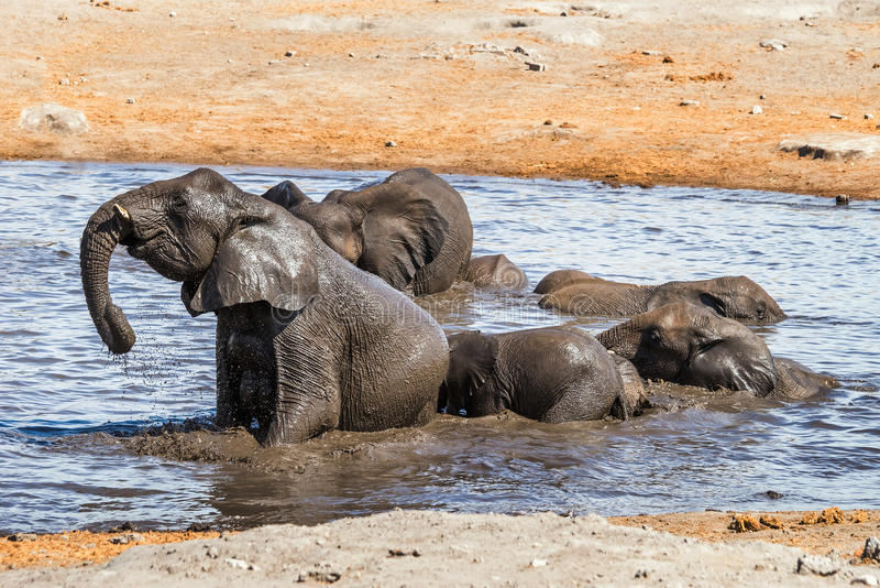 Elefantes africanos del bebé joven que juegan en agua fotos de archivo libres de regalías