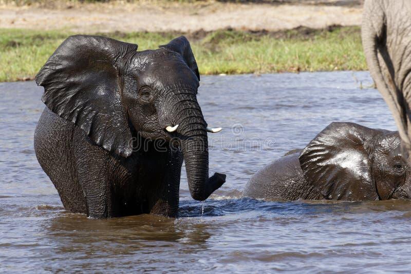 Elefantes africanos do bebê que jogam na água imagem de stock