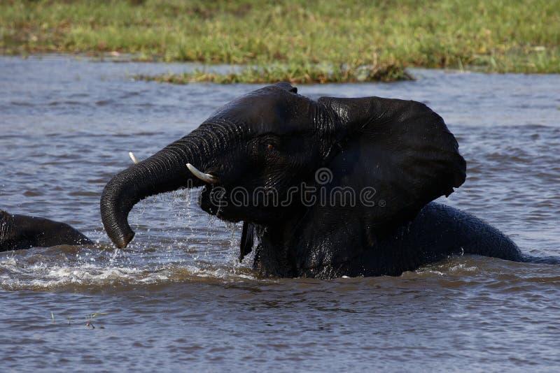 Elefantes africanos do bebê que jogam na água fotografia de stock