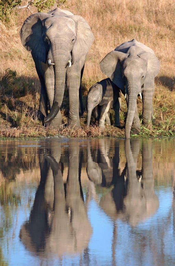 Elefantes africanos e vitela no waterhole foto de stock