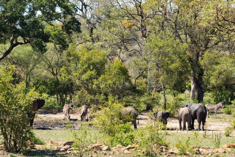 Elefantes africanos e zebras em um waterhole fotografia de stock royalty free