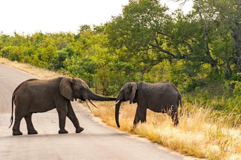 Elefantes africanos en desierto imagenes de archivo