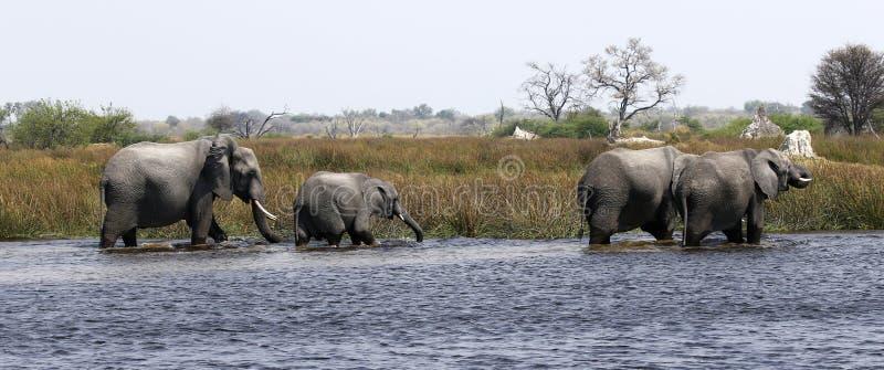 Elefantes africanos en el delta fotos de archivo libres de regalías