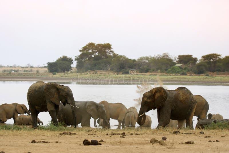 Elefantes africanos en el lago imagen de archivo