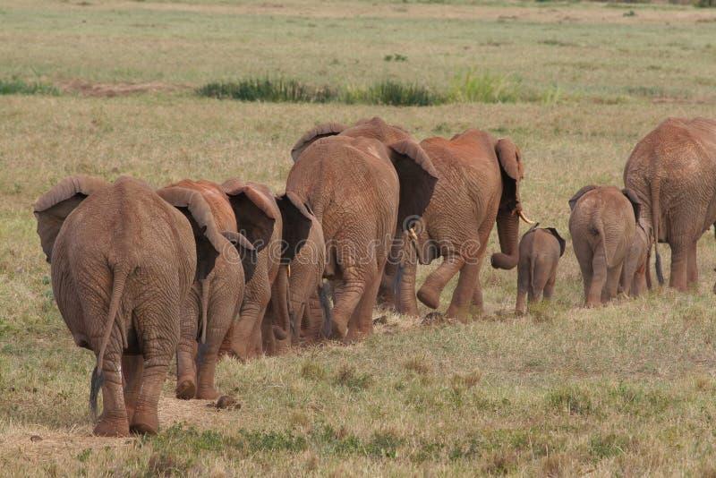Elefantes africanos en el movimiento imagen de archivo