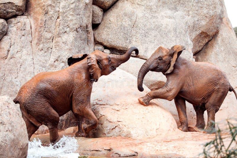 Elefantes africanos en el parque zoológico fotos de archivo libres de regalías