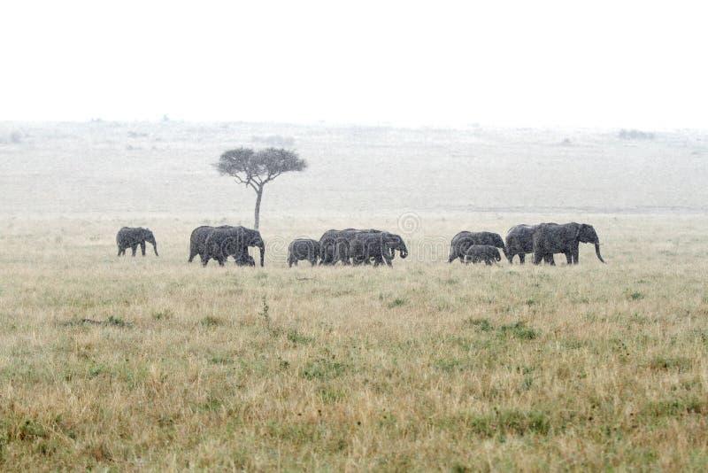 Elefantes africanos en la lluvia fotos de archivo