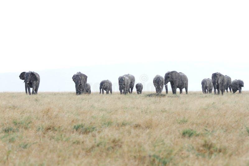Elefantes africanos en la sabana durante la lluvia imágenes de archivo libres de regalías