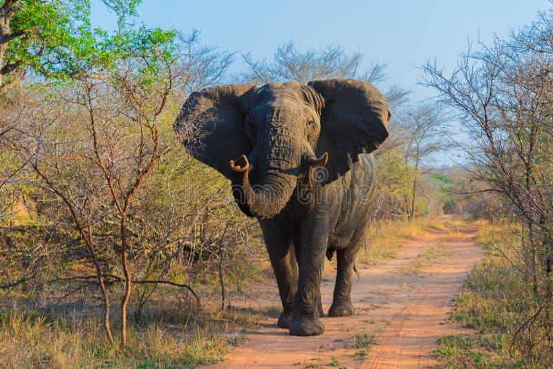 Elefantes africanos en un safari a través de Suráfrica en el parque nacional de Kruger imagen de archivo