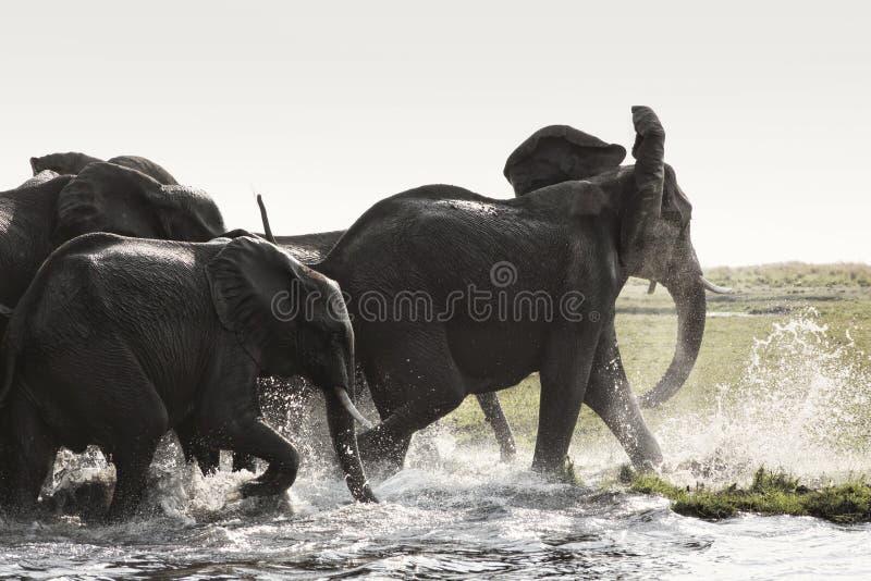 Elefantes africanos ( Loxodonta africana) agua potable, Na de Etosha fotos de archivo libres de regalías