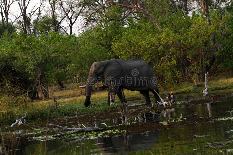 Elefantes africanos no delta de Okovango imagens de stock royalty free