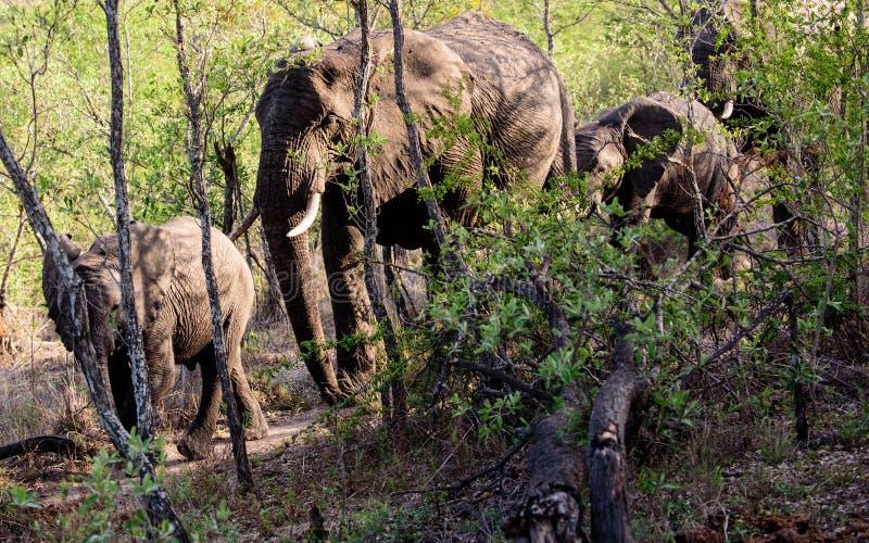 Elefantes africanos no março fotos de stock royalty free