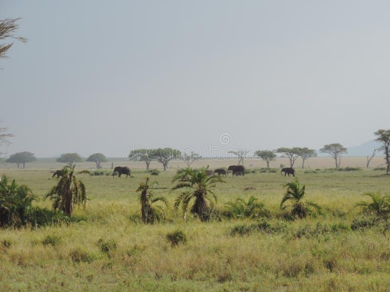 Elefantes africanos no parque nacional de Serengeti, Tanzânia fotografia de stock