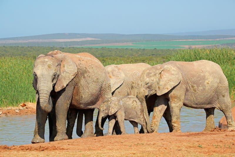 Elefantes africanos no waterhole fotografia de stock royalty free