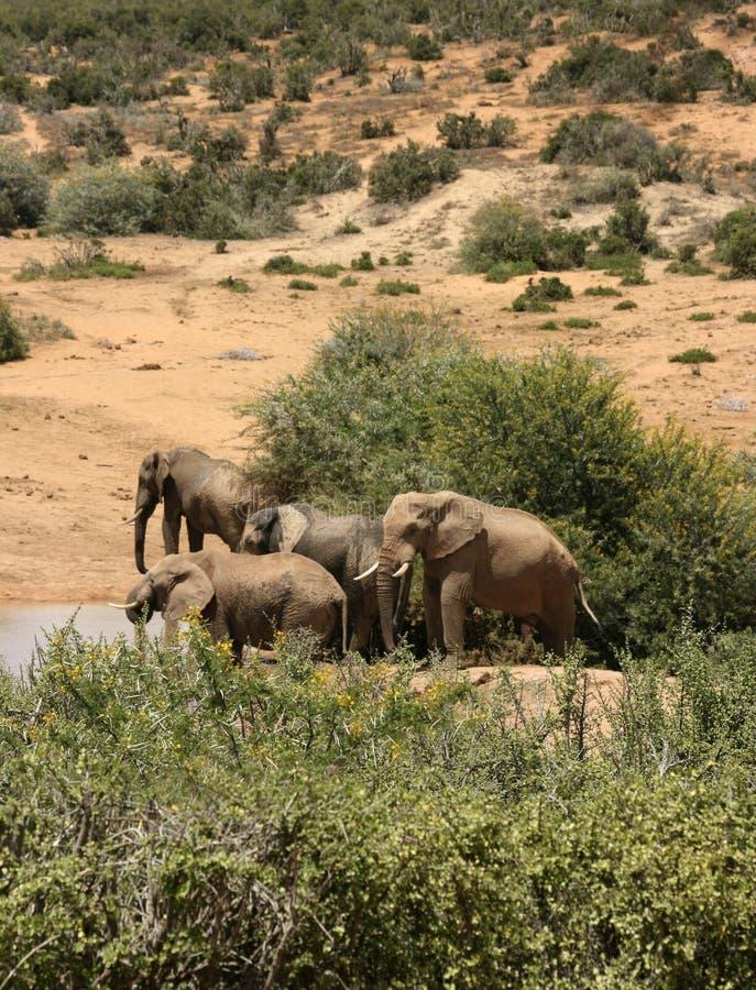 Elefantes africanos no waterhole em África do Sul fotografia de stock royalty free