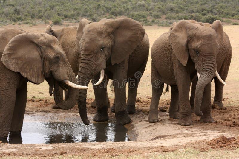 Elefantes africanos no waterhole em África do Sul foto de stock