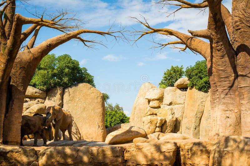 Elefantes africanos por las rocas amarillas y baobabs en parque zoológico animal-amistoso fotografía de archivo libre de regalías