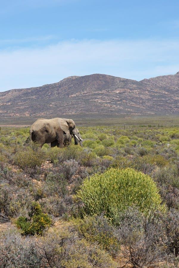 Elefantes africanos que andam no fundo do prado e da montanha fotos de stock