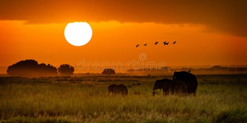 Elefantes africanos que andam no nascer do sol dourado foto de stock royalty free