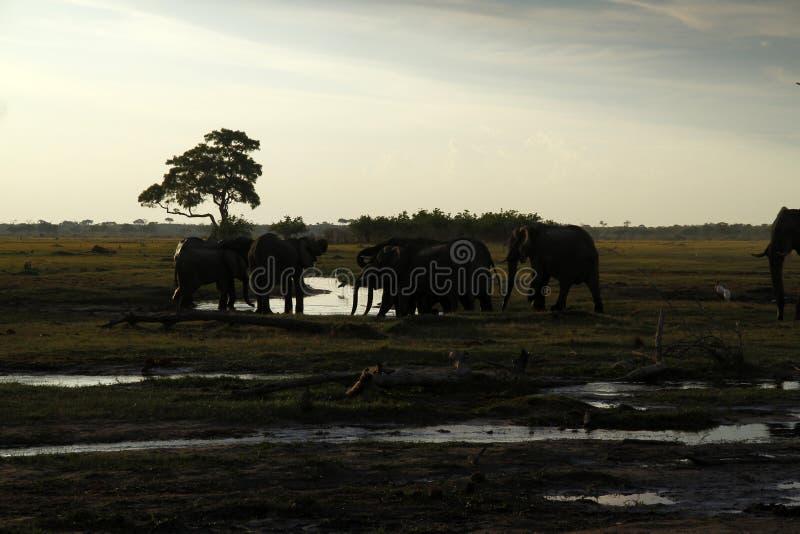 Elefantes africanos que bebem nas planícies imagem de stock royalty free