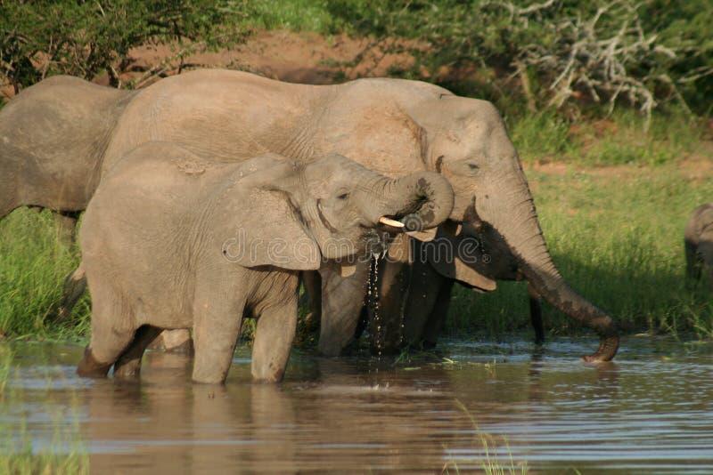 Elefantes africanos que beben, Kruger, Suráfrica foto de archivo libre de regalías