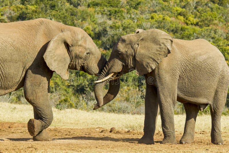 Elefantes africanos que empurram e que empurram em um furo de água imagem de stock