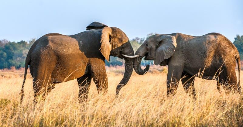 Elefantes africanos que luchan en la sabana en la puesta del sol foto de archivo