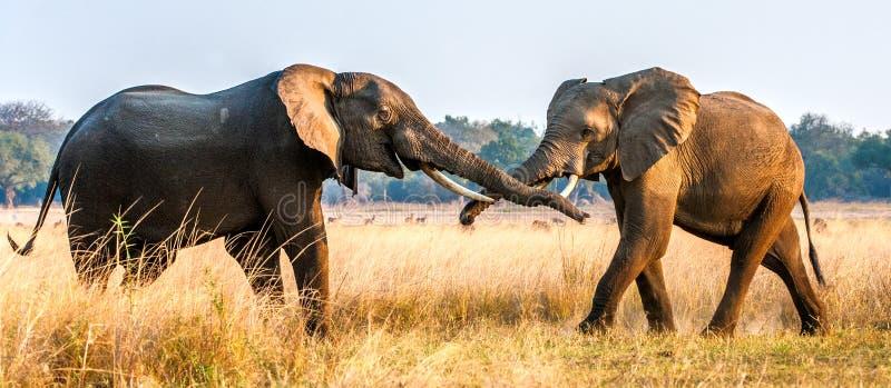 Elefantes africanos que luchan en la sabana en la puesta del sol foto de archivo libre de regalías