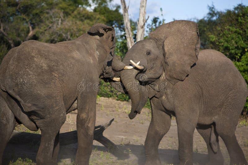 Elefantes africanos que lutam - Botswana fotografia de stock