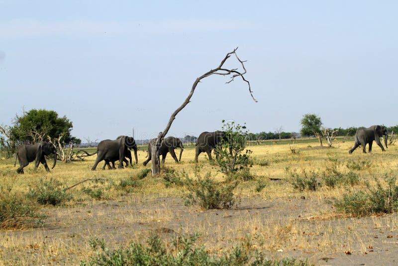 Elefantes africanos que marcham nas planícies imagem de stock