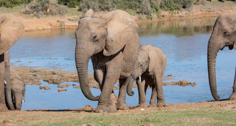 Elefantes africanos que saem de um waterhole foto de stock royalty free