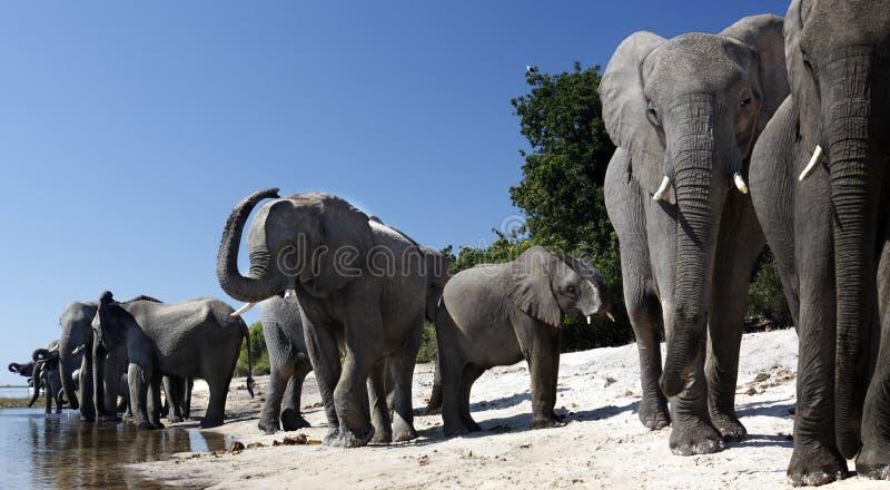 Elefantes africanos - río de Chobe - Botswana foto de archivo libre de regalías