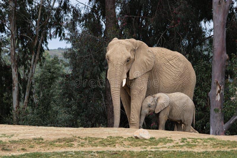 Elefantes africanos, relación blanda cariñosa buena, madre y niño, madre de siguiente del elefante minúsculo lindo del bebé, aire fotos de archivo
