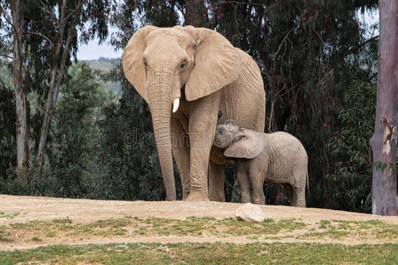 Elefantes africanos, relación blanda cariñosa buena, madre y niño, madre de siguiente del elefante minúsculo lindo del bebé, aire fotografía de archivo libre de regalías