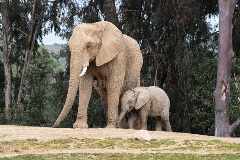 Elefantes africanos, relación blanda cariñosa buena, madre y niño, madre de siguiente del elefante minúsculo lindo del bebé, aire foto de archivo libre de regalías