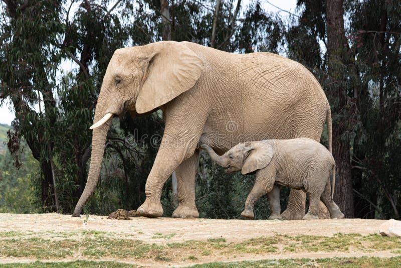Elefantes africanos, relación blanda cariñosa buena, madre y niño, madre de siguiente del elefante minúsculo lindo del bebé, aire fotografía de archivo