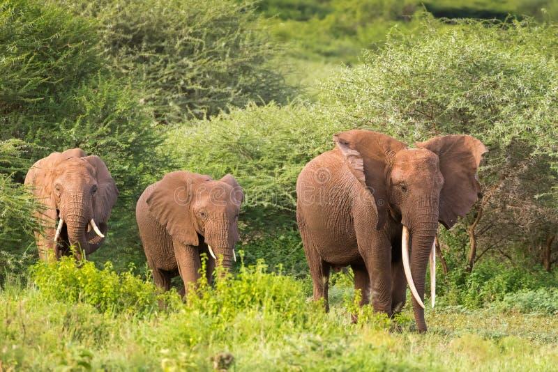 Elefantes africanos salvajes que caminan cerca de árbol de la espina en el parque nacional de Serengeti en Tanzania, África imagen de archivo libre de regalías