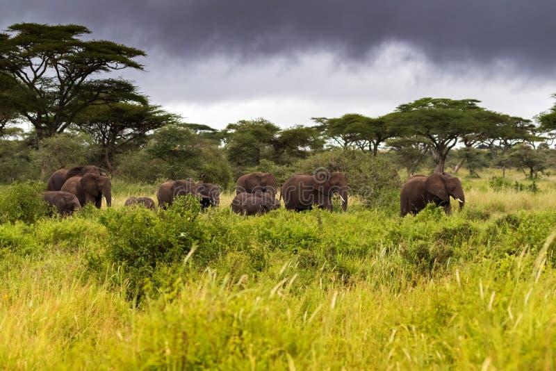 Elefantes africanos selvagens que andam no arbusto na noite com as nuvens de tempestade escuras, em Serengeti em Tanzânia, África fotografia de stock royalty free