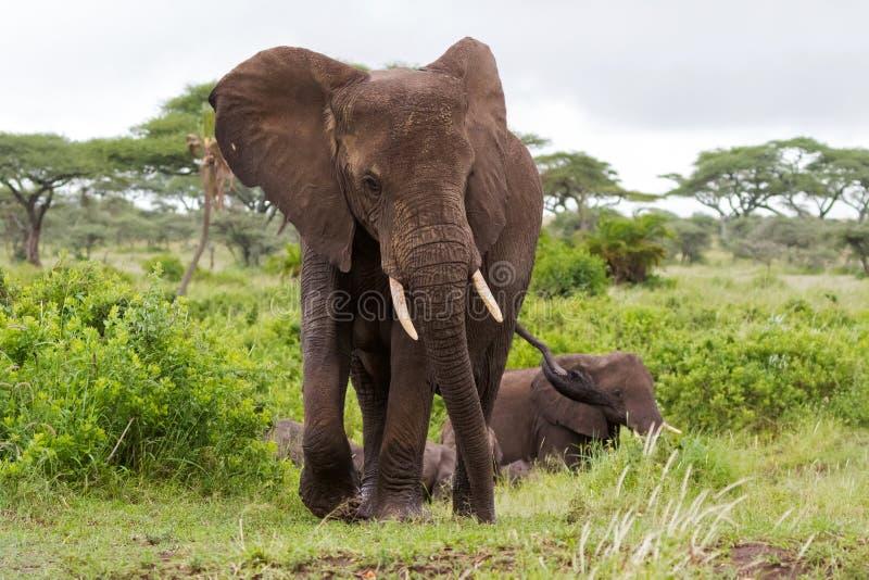 Elefantes africanos selvagens que andam no arbusto no parque nacional de Serengeti em Tanzânia, África fotografia de stock royalty free