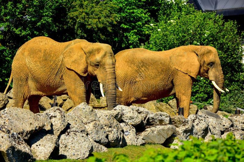 Elefantes antes de alimentar en un parque zoológico fotos de archivo libres de regalías