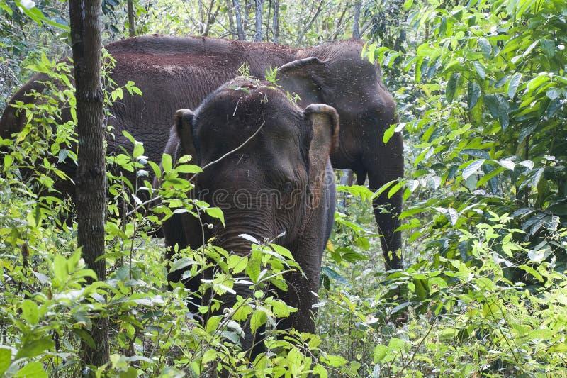 Elefantes asiáticos en bosque foto de archivo libre de regalías