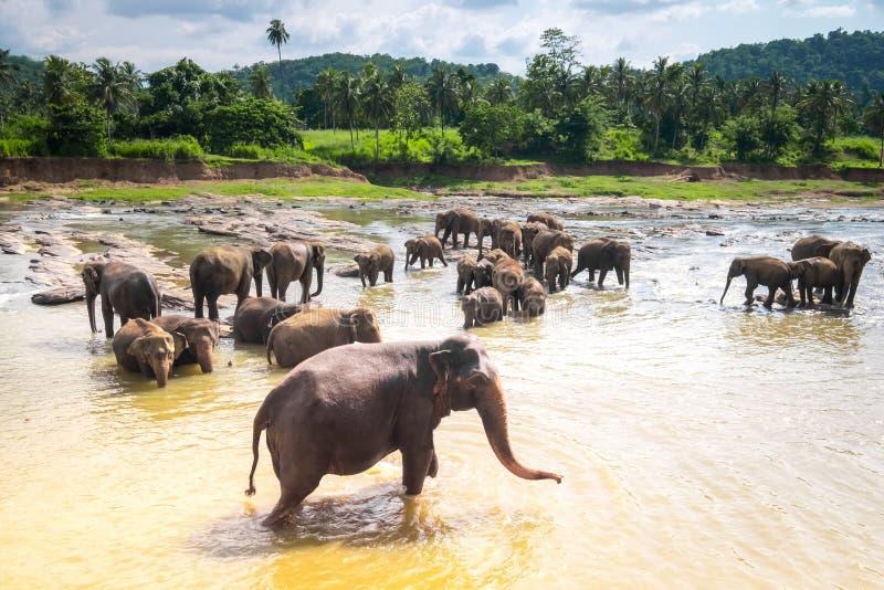 Elefantes asiáticos grandes em Sri Lanka imagens de stock royalty free