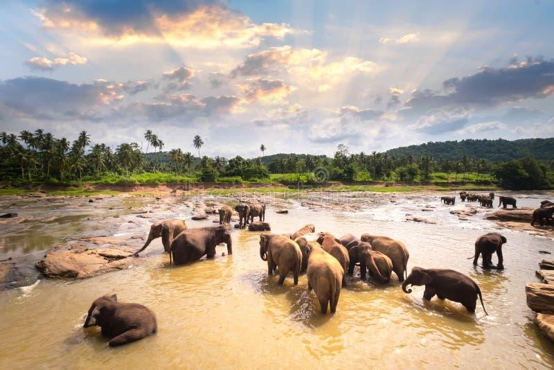 Elefantes asiáticos grandes em Sri Lanka foto de stock
