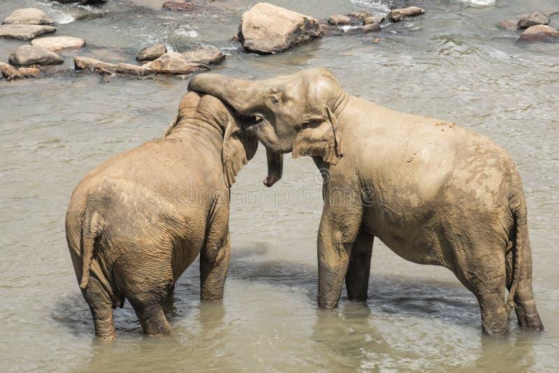 Elefantes asiáticos grandes en Sri Lanka imagenes de archivo