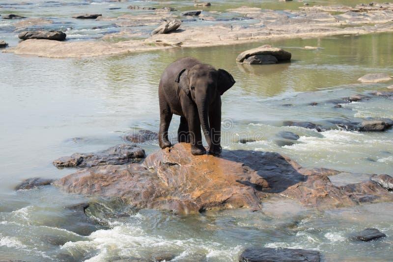 Elefantes asiáticos grandes Natureza selvagem de Sri Lanka fotos de stock royalty free